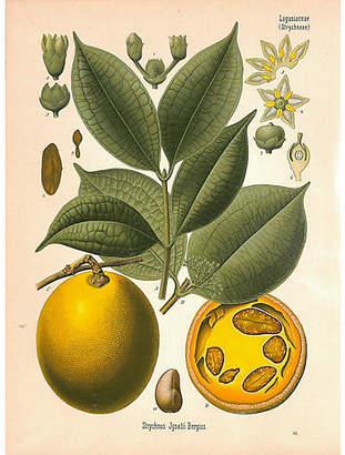 One Kings Lane Vintage Botanical Print - St. Ignatius Bean