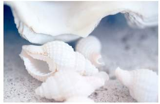 Pottery Barn Shell Macro Paper Print by Cindy Taylor