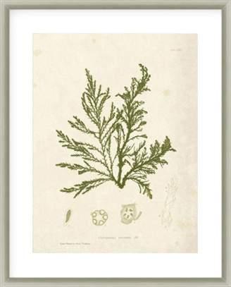 La Grolla Cystoseira Ericoides Framed Print
