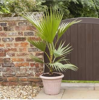Very Hardy Cotton Palm Washingtonia robusta 1M Tall 20cm Potted Plant