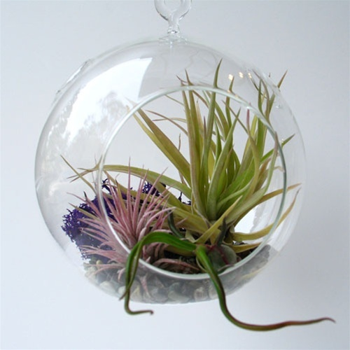 Hanging bubble terrarium with air plants - small