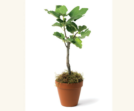 Kadota Fig Plant