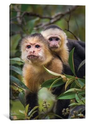 East Urban Home 'White -Throated Capuchin Monkeys, Tortuguero, Limon Province, Costa Rica' Photographic Print on Wrapped Canvas