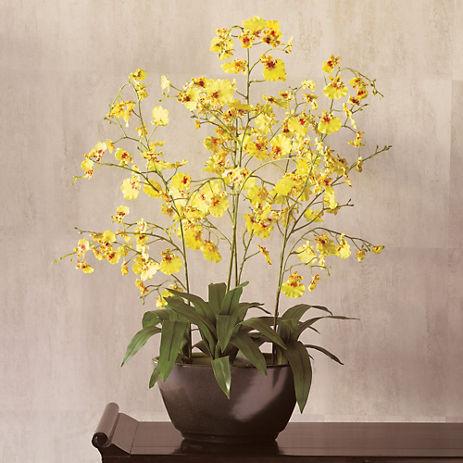 Oncidium Orchid, Yellow