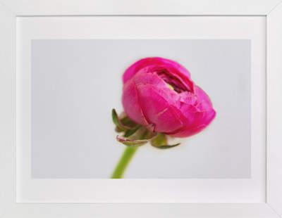 Budding Ranunculus 2 Art Print