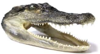 "Disney Authentic 5.5"" Real Gator Head"