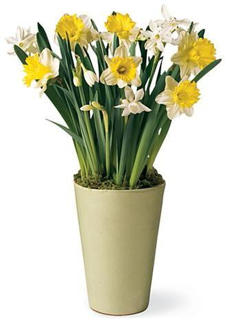 Daffodils in Green Terra Cotta Pot