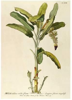 Musa Plantae Print