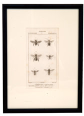 Antique Zoology Print