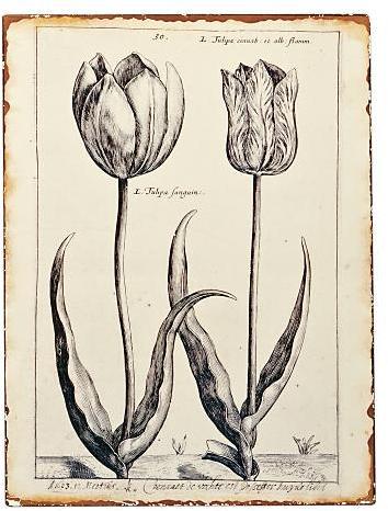 'Sanguin' Tulip Tin Print