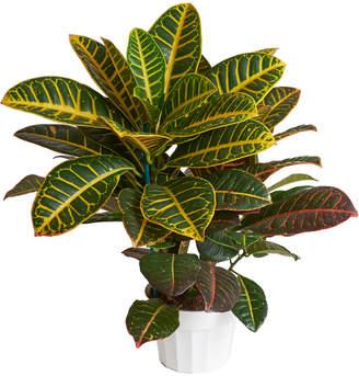 Croton Home Botanicals Live 2In Codiaeum Variegatum Indoor House Plant