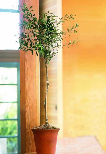 Organic Olive Tree Topiary