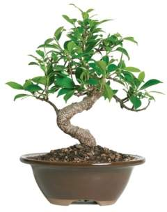 Brussel's Bonsai Brussels Bonsai Golden Gate Ficus