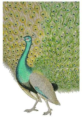 Pottery Barn Peacock Framed Print by Zlatka Paneva