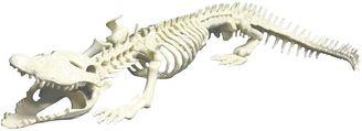 Miniland Crocodile Skeleton