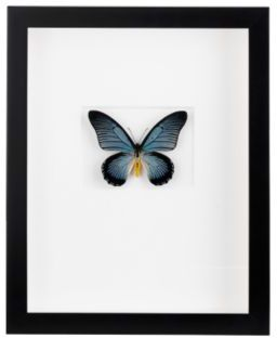 Christopher Marley African Blue Swallowtail Butterfly