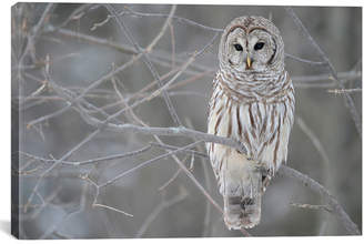iCanvas Icanvasart Barred Owl On Branches Canvas Wall Art
