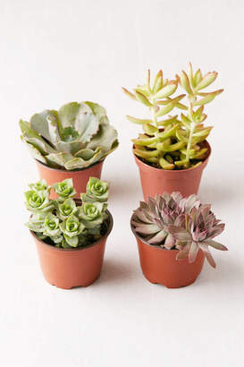"4"" Live Assorted Succulents - Set of 4"