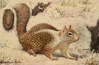 N. Wall Art Import Wild Animals of America 1918 California Ground Squirrel Poster Print by L.A. Fuertes (24 x 36)