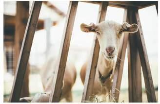 Pottery Barn Munchin' Goats By Camrin Dengel
