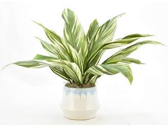 Bay Isle Home Variegated Cordyline Floor Foliage Plant in Ceramic Pot