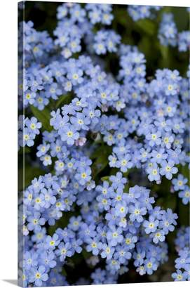 Columbia Canvas On Demand Deddeda Photography Premium Thick-Wrap Canvas Wall Art Print entitled Blooming Blue Flowers, Victoria, British Columbia, Canada