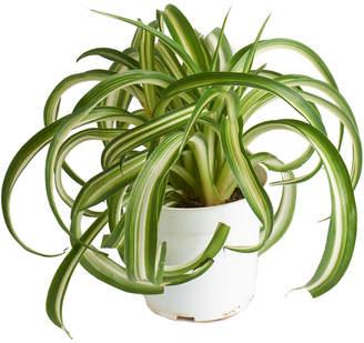 Home Botanicals Live 4In Chlorophytum Bonnie Spider Plant Indoor House Plant