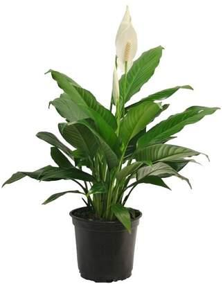 Pottery Barn Live Peace Lily Plant