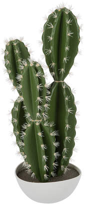 Sinai Cactus Plant