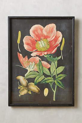 Anthropologie Botanical Specimen Print