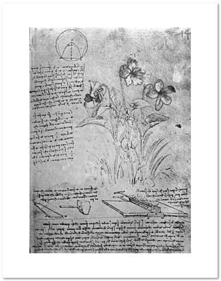Leonardo 1000Museums Studies of Violas (Viola odorata and Viola canina), fol. 14r from Manuscript B by da Vinci, c.1487-90. Art Pri