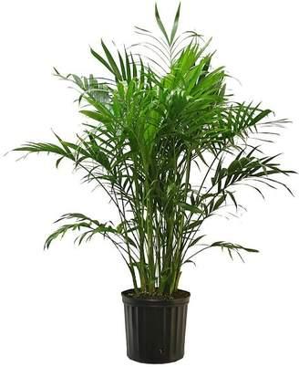 Pottery Barn Live Cat Palm Plant