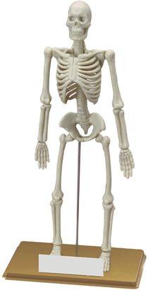 Miniland Human Skeleton