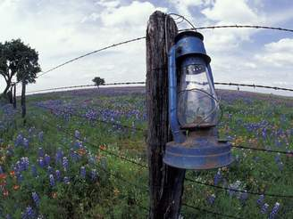 Art.com Blue Lantern, Oak Tree and Wildflowers, Llano, Texas, USA Premium Photographic Print By Darrell Gulin - 76x102 cm