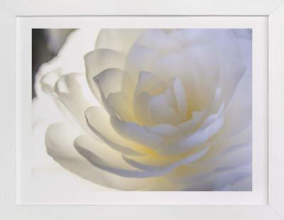 White Camellia Art Print