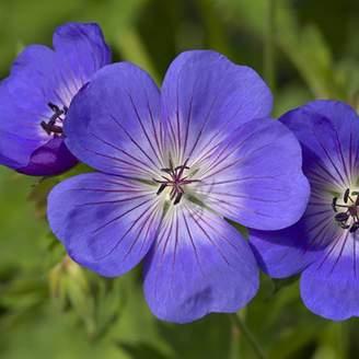 Kaleidoscope Hardy Geranium Rozanne