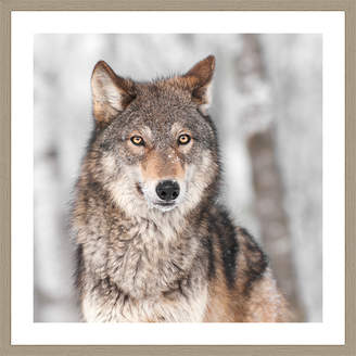 Spyglass Gallery Canis Lupus Framed Print