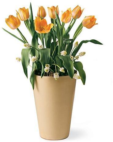 Tulips in Yellow Terra Cotta Pot