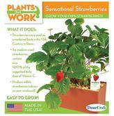 DuneCraft Plants That Work Sensational Strawberries Plant Kit