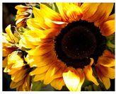 Pottery Barn Farmers Market Sunflowers Framed Print by Ana V Ramirez