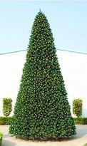 40' Giant Pre-Lit Everest Fir Commercial Christmas Tree - Multi LED Lights