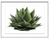 Succulent II by Geoffrey Baris (Framed Giclee)