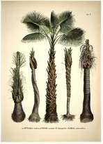 Botanical Palm Attalea Funifera Print