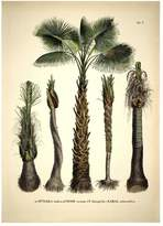 The Dybdahl Co. Botanical Palm Attalea Funifera Print