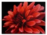 "Dahlia 'Red Dahlia' Canvas Print by Kurt Shaffer, 24"" x 32"""