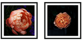 Soicher Marin Pink Peony Diptych (Framed Giclee)
