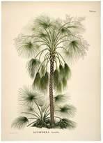 The Dybdahl Co. Livistona Humilis. Botanical Palm Print