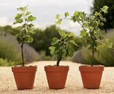 Kadota Fig Plant