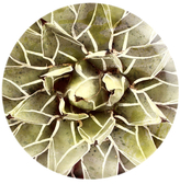 Oliver Gal Cactus Flower (Round Acrylic)