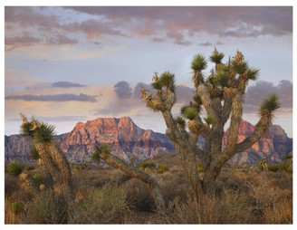 """AR+ Global Gallery """"Joshua Tree, Spring Mountains, Red Rock Canyon Conservation"""" Paper Ar"""